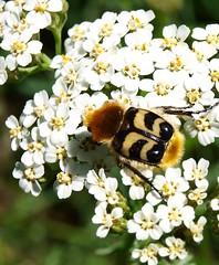 Trichius fasciatus. (J Carrasco (mundele)) Tags: pndaigüestortesiestanydesantmaurici insectos coleoptera scarabaeoidea cetoniidae trichius