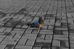 (Evgeny_Ukhov) Tags: dove голубь 鳩 монохром モノクロ monochrome черное белое black white 黒、白 黒白 минимализм ミニマリズム minimalism иркутск irkutsk россия russia ロシア