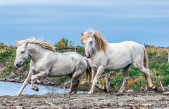 2016 Best Two Camargue Stallions (11) (maskirovka77) Tags: saintlaurentdaigouze languedocroussillonmidipyrén france languedocroussillonmidipyrénées fr stallion stallions createaway