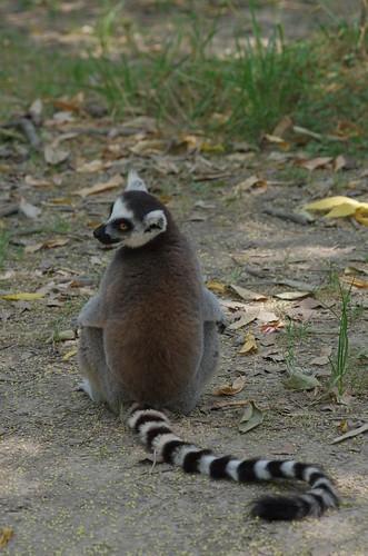 Shanghai Wild Animal Park - Lemur / 上海野生动物园 - 狐猴