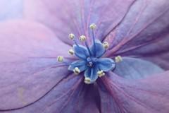 P6170059 (Zengame) Tags: tokyo olympus 東京 hydrangea 紫陽花 tg3 あじさい アジサイ オリンパス