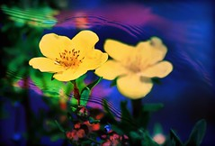 Alaska's Tundra Rose (JLS Photography - Alaska) Tags: flowers summer flower color art yellow artwork colorful artistic digitalart depthoffield solstice wildflowers wildflower yellowflowers digitalmanipulation tundrarose jlsphotographyalaska