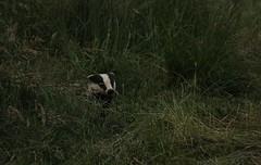 Peeking Badger (Derbyshire Harrier) Tags: summer field dark evening dusk farming crop badger hay 2014