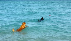 """Follow the Leader"" (Midnight and me) Tags: blue summer dogs goldenretriever bluewater poodle midnight fourthofjuly atlanticocean standardpoodle followtheleader redring midnightswimming dogsswimming blackstandardpoodle midnightandme funintheocean swimmingmidnight"