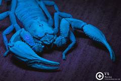 Giant Forest Scorpion (Heterometrus spinifer) glowing under UV light (PF T.J.) Tags: light macro forest giant glow uv illumination scorpion malaysia pincer scorpionidae
