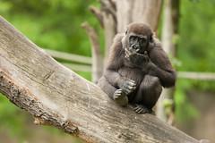 2014-06-19-11h28m56.272P5473 (A.J. Haverkamp) Tags: zoo rotterdam blijdorp gorilla tonka dierentuin diergaardeblijdorp westelijkelaaglandgorilla canonef14xiiextender httpwwwdiergaardeblijdorpnl pobrotterdamthenetherlands canonef500mmf4lisiiusmlens dob05112012
