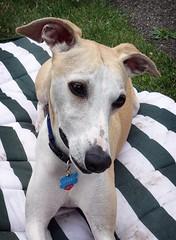Cute! (DiamondBonz) Tags: dog pet cute hound adorable whippet spanky