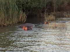 129_02-PS-SA (Paolo Nastati) Tags: lucia santalucia sudafrica viaggiodinozze ippopotamo