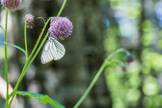 Black-veined White 蝦夷白蝶