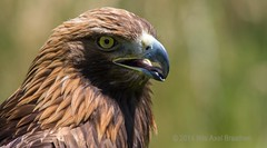 J77A5285 -- Face of a Golden Eagle at Rambouillet, in France (Nils Axel Braathen) Tags: france nature birds canon wildlife ngc fourseasons soe birdsofprey fugler oiseaux autofocus makelovenotwar specanimal fantasticnature photoroom vogeln elitephotography 100commentgroup thebestofmimamorsgroups canon5dmarkiii bestcapturesaoi elitegalleryaoi flickrsportal flickrstruereflection1 magicmomentsinyourlife