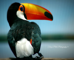 Toucan (Terezaki ) Tags: trip travel portrait orange white holiday black bird nature colors birds yellow closeup america forest mexico photography photo nikon colombia paradise day searchthebest d70 bokeh venezuela south details tropical tamron pictureperfect photooftheday naturesfinest ncg birdscape paradisebird flickrdiamond theperfectphotographer natureselegantshots