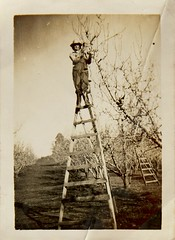9661_Jean Young on 14ft ladder_Anderson nee Young Collection (Gostalgia: local history from Gosford Library) Tags: farming kulnura jeanyoung centralcoastnsw