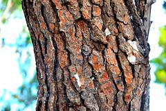 Pine Tree (RobW_) Tags: tree texture pine july greece bark tuesday taverna zakynthos michalis kampi 2014 jul2014 15jul2014