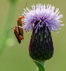 Soldier Beetles (davep90) Tags: 3 macro sisters three nikon sigma ashton bryn wigan 150mm greenheart davep90