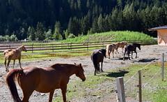 RIENTRO CAVALLI  PRACUPOLA (aldofurlanetto) Tags: cavalli rientro ulten pracupola