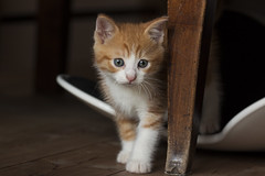 Medoro (silvia_mozzon) Tags: cute animal cat canon kitten miao tamron gatto domestico animale cucciolo micio gattino 50d medoro