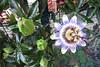Passiflore et fruit de la passion - 2014.07.23 - 02 (guy.schivy) Tags: fleur passiflore fruitdelapassion