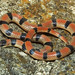 Variable Groundsnake