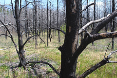 Looking through burned forest on Isabella Lake portage trail