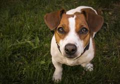 Jack Russel (Jhon D Graph) Tags: dog chien france color french nikon flickr fx jackrussel lightroom d610 petitchien nikonpassion pleinformat nikon24120f4 nikond610