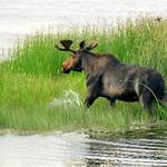Bull Moose in Wetland Seedskadee NWR thumbnail