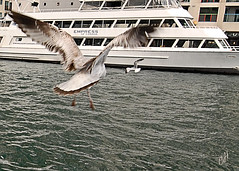 Toronto Harbour (cliffhope73) Tags: cliff toronto ontario canada water birds boats photography wings nikon seagull flight d800 torontoharbour cliffhope cliffhopeca