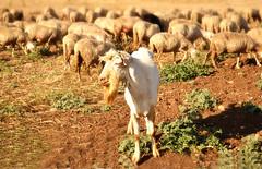 The boss (Angela Bucci) Tags: light italy colors field grass animals reflex eyes nikon italia dof flock nikkor sheeps puglia pasturage d3100 elettroshiva ppa8f3