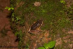 IMG_7328 (Chaitanya Shukla) Tags: india frog maharashtra day4 pune amboli leapingfrog amboliaug2014