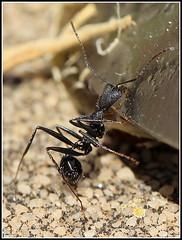 Hormiga - Ant (Pippoloide) Tags: macro canon bug eos reflex bokeh ant f2 60mm dslr tamron hormiga t3i insecto macrophotography macrofotografa 600d martadiarra