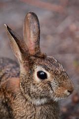Wild Bunny (flutterbye216) Tags: wild rabbit bunny challengeclubchampion