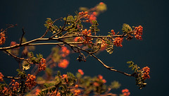 Beauty is as close as one's back yard (John A. McCrae) Tags: light red colours edmonton berries alberta complementarycolours mountainashtree pentax50135mm pentaxk5