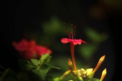 Evening passion. (Manu praba) Tags: red flower evening passion buds 4oclock hendirikka
