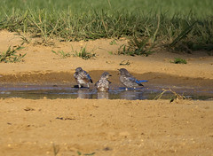 bluebirds bathing (jphillipobrien2006) Tags: newjersey jackson pinepark wildnewjersey