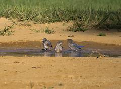 bluebirds bathing (jphillipobrien2006) Tags: newjersey jackson pinepark wildnewjersey