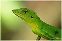 Reptile. DSC05085 (Amir H zah2) Tags: green reptile lizard hijau kadal