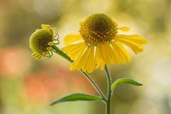 HELENIUM (Mandy Disher) Tags: summer nature beauty yellow garden fresh excellence helenium sneezeweed