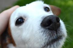 Alfie. (capstick13) Tags: portrait dog pet cutie