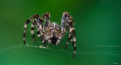 Face to face - Spider (Fab Boone Photo) Tags: spider nature macro nikon face close fabienboone fabboone
