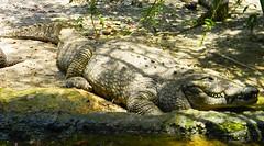 Cocodrile (copito_m) Tags: naturaleza nature animal nikon animales mywinners abigfave aplusphoto