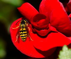 DSC_3466 (Michael Mckinney (Find my Twitter @MMckinneypho) Tags: red flower macro nature up yellow insect flying wings close wasp wing winged