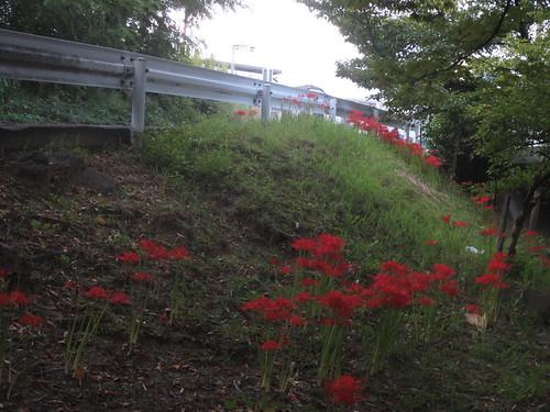 彼岸花の咲く坂道