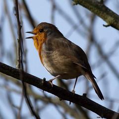 Robin in full song ! (warren hanratty) Tags: nature robin erithacusrubecula wildlife gloucestershire nailsworth wildbird ef100400mmf4556lisusm warrenhanrattyphotography
