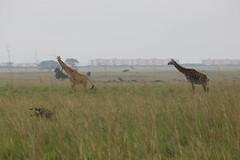 IMG_4052 (Jarod Burns) Tags: africa nationalpark kenya wildlife nairobi safari giraffe nairobinationalpark