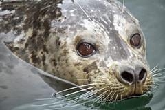 Swimming harbour seal (Gill Stafford) Tags: ocean sea canada color colour mammal bc pacific image harbour britishcolumbia victoria vancouverisland photograph seal fishermanswharf floatingvillage gillstafford