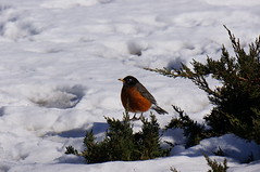 Contrast of Spring and Winter (soniamcintosh) Tags: winter usa snow bird robin landscape spring vermont