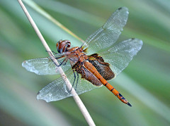 Red Saddlebags: Tramea onusta (Stan in FL) Tags: red usa florida dragonflies dragonfly wildlife natur fl onusta damselflies odonata thevillages saddlebags tramea