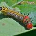 Red-humped Caterpillar (Schizura concinna)
