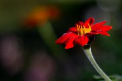 In the Garden (massbat (moved to Maine)) Tags: flowers summer closeup pentax bokeh camden maine 55mm f18 supertakumar merryspringnaturecenter