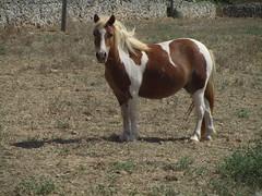 Small Blonde (Bricheno) Tags: menorca minorca mahon poni horse caballo cavall pony mahn ma island balearics baleares mediterranean bricheno illesbalears bird escastell spain espaa islasbaleares balears espanya hiszpania spanien spagna   spanje espanha    minorka minorque