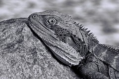 I've got my eye on you (black and white) (loobyloo55) Tags: blackandwhite australia lizard waterdragon